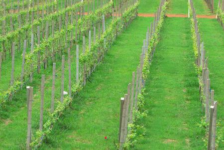 green grape plant in farm Reklamní fotografie