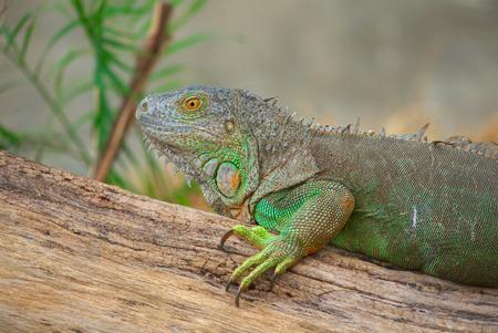 Head short of green iguana