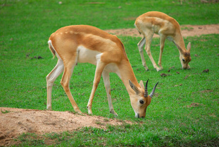 impala eat grass in the zoo