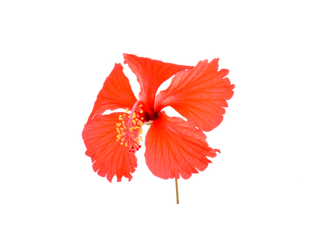 Hibiscus on white background Banco de Imagens