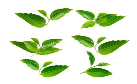 tea leaf on white background Banco de Imagens