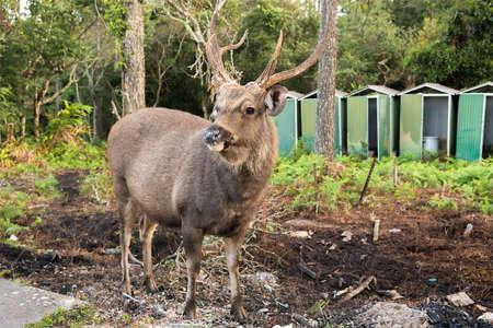 black tail deer: Dirty deer buck near the edge of forest at Phukradung National Park, Thailand