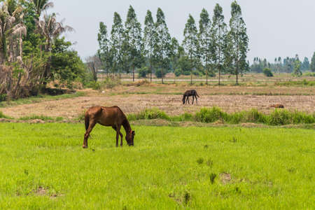 soest: Horses in the fields in countryside farm.