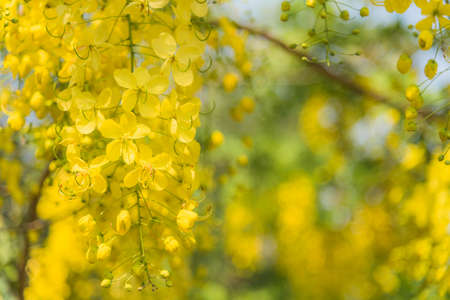 cassia: Cassia fistula, Tropical yellow flower. Stock Photo