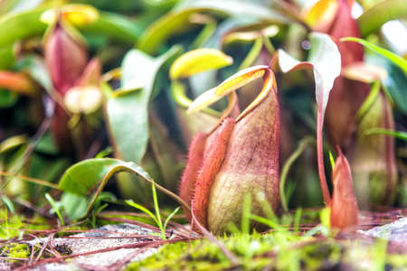 Tropical pitcher plants or monkey cups in national park. Stock Photo