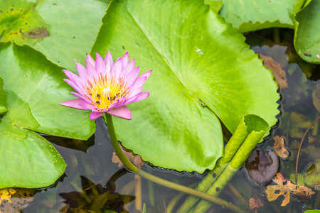 carpel: Pink lotus on a pond with bee on carpel.
