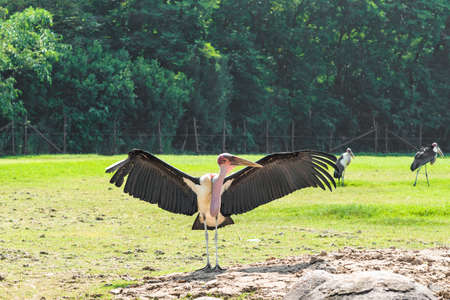 Marabou stork is open wings in the warm sun. Stock Photo