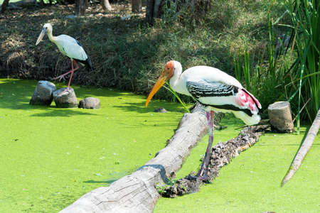 Painted Stork in green swamp for finding a fish.