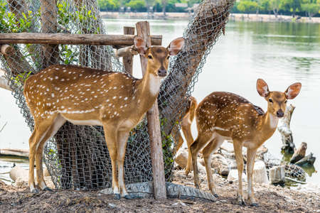 spotted fur: Close up of giant and little spotted deer in a farm.