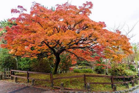 가 오는 때 공공 공원에서 단풍 나무.