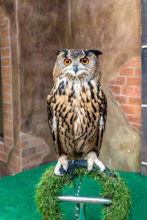 Great Horned Owl or Bubo Virginianus Subarcticus.