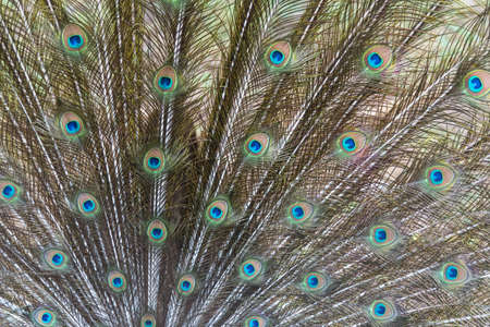 peafowl: Close up of Indian peafowl or blue peafowl tail. Stock Photo