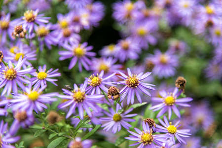 Purple daisy flowers in the garden with blur background. Stock Photo