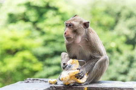 Young male monkey is eating fresh corn.