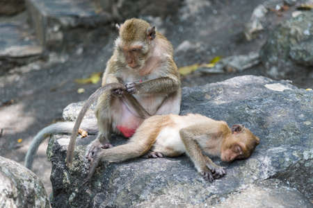 Mother monkey cleaning tail of her baby. Stock Photo