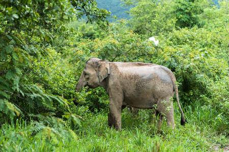 power giant: Asian Elephant in the wild life. Kuiburi National Park. Thailand.