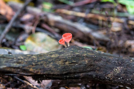 Close up Mushroom Champagne (Cookeina sulcipes) in rain forest. Stock Photo