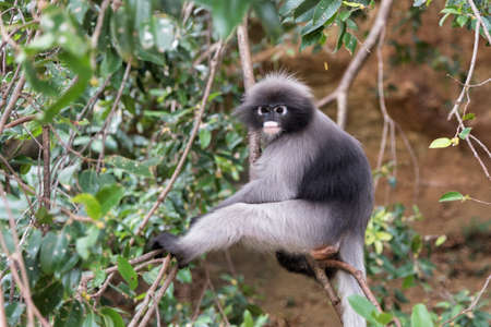 rain forest animal: Dusky leaf monkey in the forest. Stock Photo