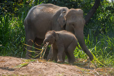 mahout: A young elephant right next to an adult one. Stock Photo