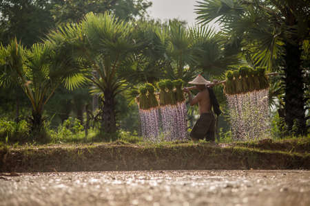 baby rice: Thai farmer on green fields holding rice baby.