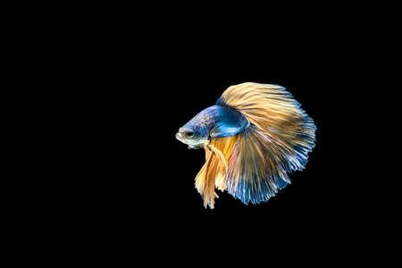 splendors: siamese fighting fish isolated on black background. Stock Photo