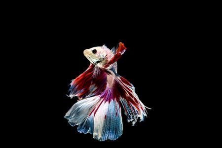 siamese fighting fish isolated on black background. Stock Photo