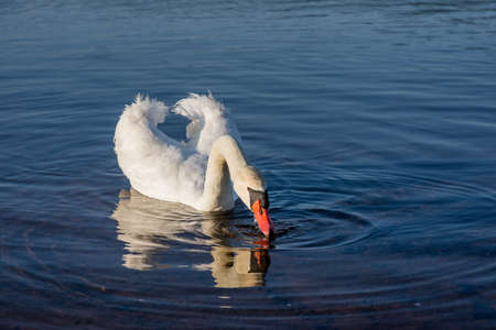 tranquilly: White Swans on the lake