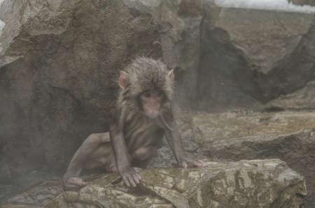 Japanese Snow monkey Macaque in hot spring Onsen Jigokudan Park, Nakano, Japan 写真素材