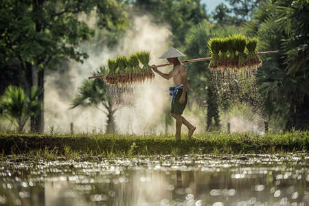 Hard Work Farmer in Rice green fields holding rice baby. They were soaked with water and mud to be prepared for planting. at Wanonniwat, Sakonnakhon, Thailand