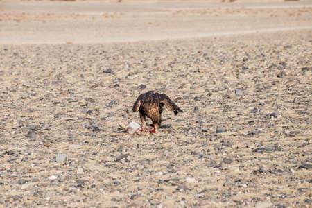 nomadism: The eagle hunters hunting rabbit at ULGII, MONGOLIA
