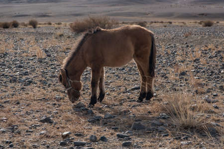 mongolia horse: Mongolian Horse in the mongolia desert mountain steppe
