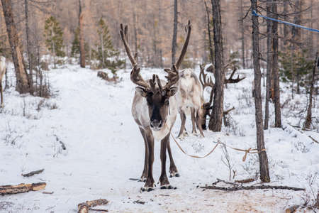 Mongolian Reindeer in traditionally Tsaatan family on their reindeers at Taiga, Mongolia