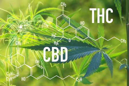 Medical Cannabis and Cannabidiol CBD and THC Oil Chemical Formula. chemistry structure of marijuana for CBD and THC cannabis garden indoor grow area.