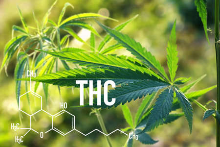 Medical Marijuana and THC Oil chemical formula for medical use, entertainment use of marijuana. cannabis garden indoor grow area. 版權商用圖片