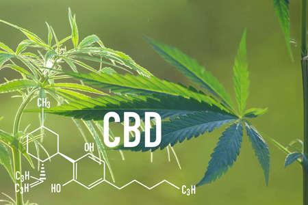 Medical Cannabis and Cannabidiol CBD Oil Chemical Formula. chemistry structure of marijuana for CBD cannabis garden indoor grow area.