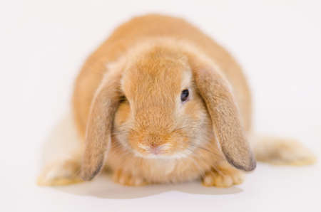 Close up of cute brown rabbit( Holland Lop ) on white background,isolated,copy space.