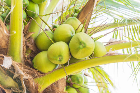Coconut in Thailand