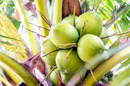 Coconut fruit . Standard-Bild