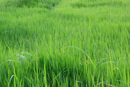 Green rice field Imagens
