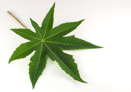nurseries: Green pentagon leaf on isolate background