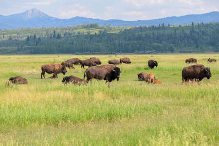 Bison at the yellowstone national park 版權商用圖片