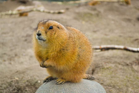 Prairie dog Stock Photo - 18130173