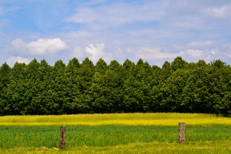 Canola field with forest Stock Photo