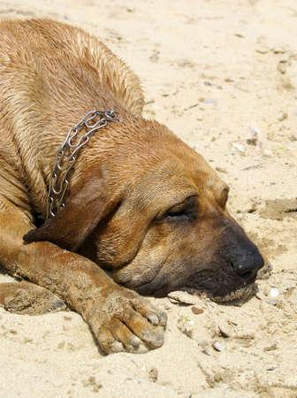 bloodhound: Bloodhound dog
