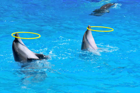 cetacea: Two dolphins playing with rings in dolphinarium