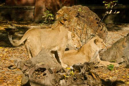 Two lion females photo