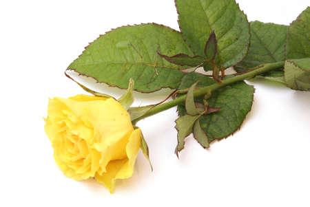 Yellow rose on white background Stock Photo