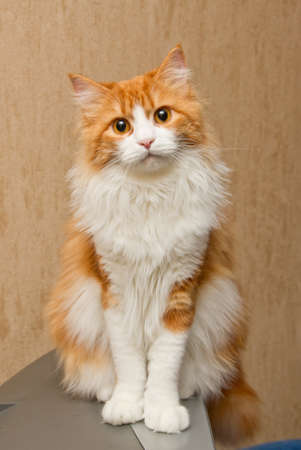 Red  furry cat with long white whiskers