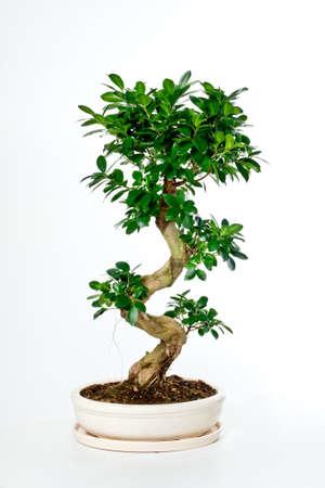 Bonsai tree in ceramic flowerpot on white background