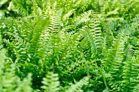 Fern plant background Stock Photo